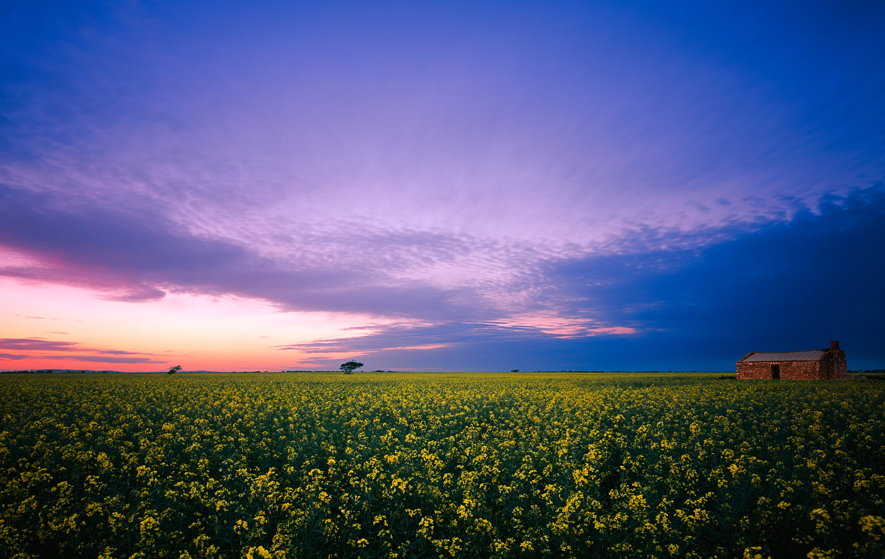 Canola Fields in South Australia